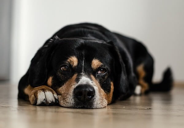 how to cure parvo at home for your dogs