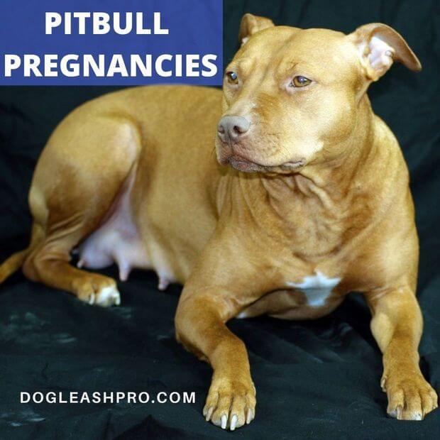 pitbull pregnancies