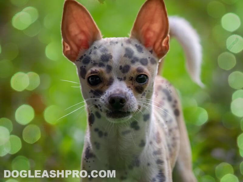 Blue Merle Chihuahua