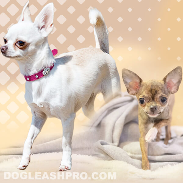Chihuahua Growth Stages