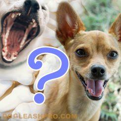 Chihuahua Teeth