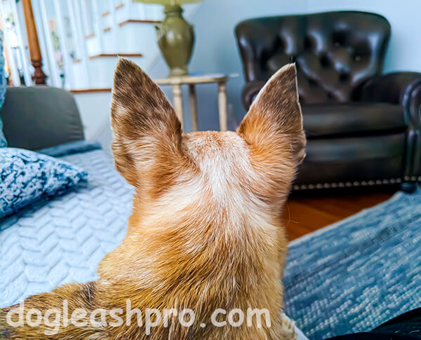 pictures of deer head chihuahuas