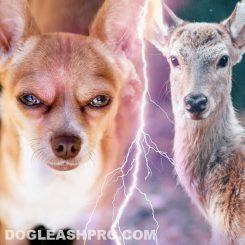 Deer Head Chihuahua