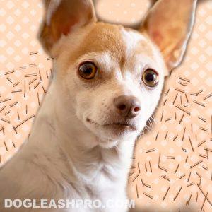 Do Chihuahuas Shed