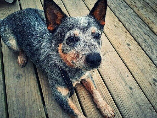 chihuahua blue heeler mix puppies