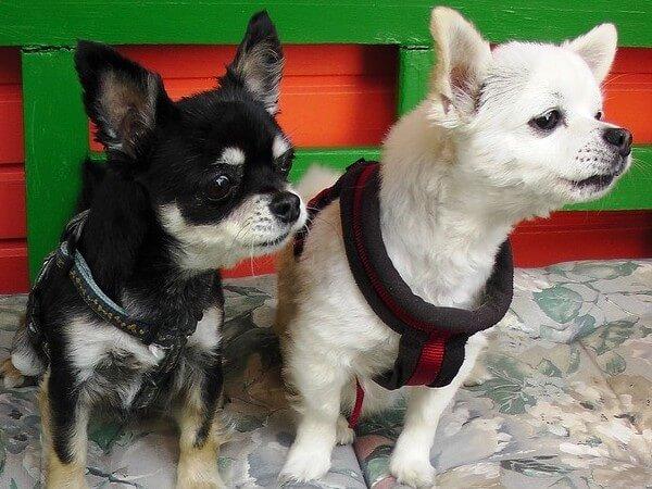 do all chihuahuas bark a lot