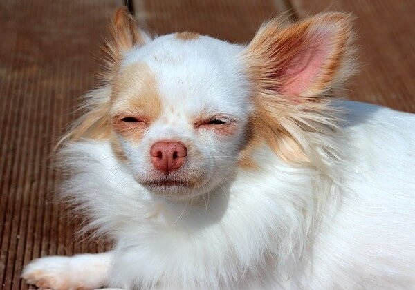 what does it mean when a chihuahua shakes