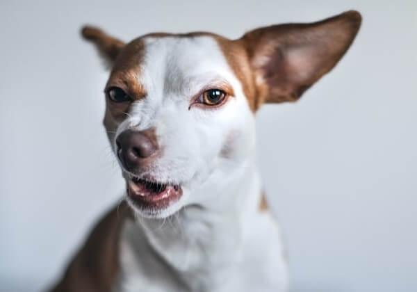 chihuahua barking sound
