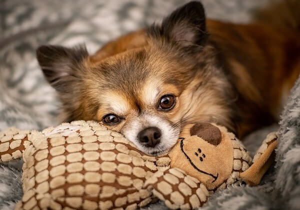 what is the lifespan of a chihuahua