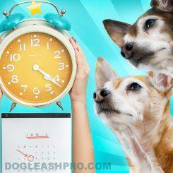 how long do chihuahuas live