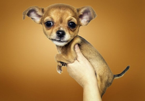 how many puppies do chihuahua have