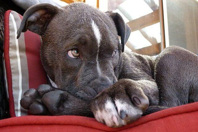 how often do pitbulls shed