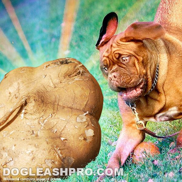 Can Dogs Eat Jicama