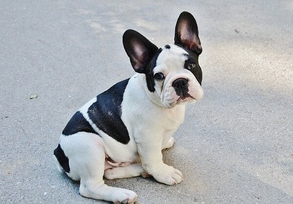 french bulldog born with long tail or french bulldog born with short tail