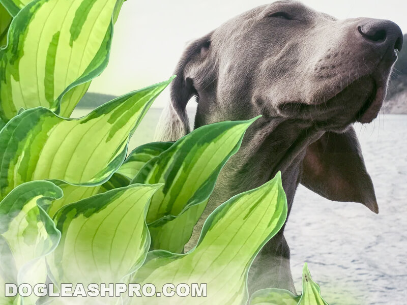are hostas poisonous to dogs