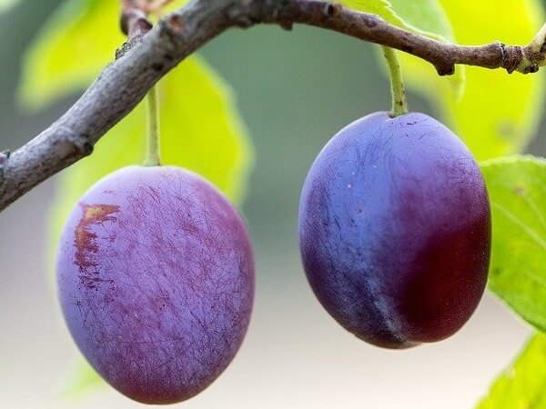 dogs eat plums safe