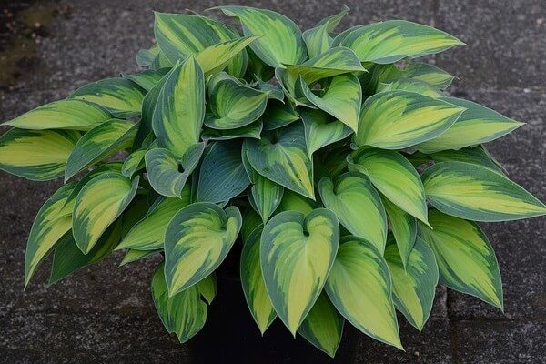 are hostas toxic for dogs
