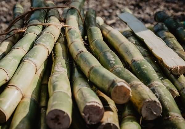 sugar cane stalks eating is not for dogs