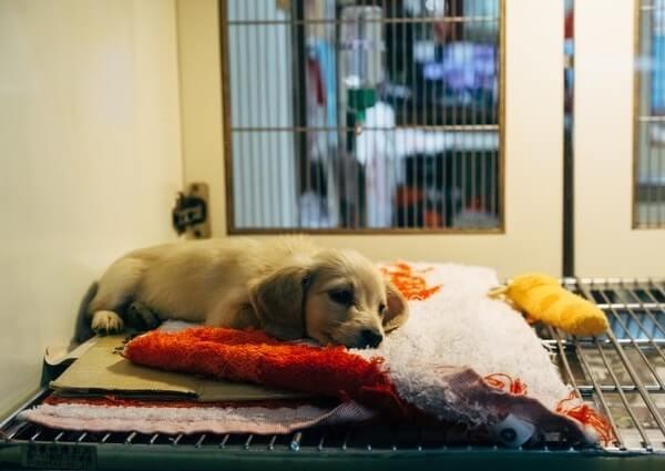 can a puppy survive parvo virus