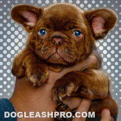 Chocolate French Bulldog