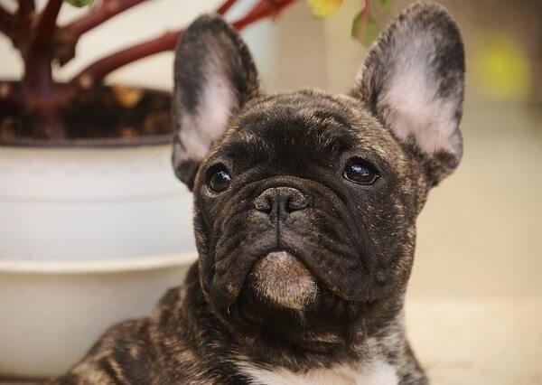 milk chocolate french bulldog