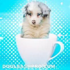 Teacup Husky