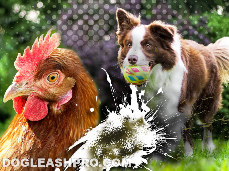 dog eating chicken poop