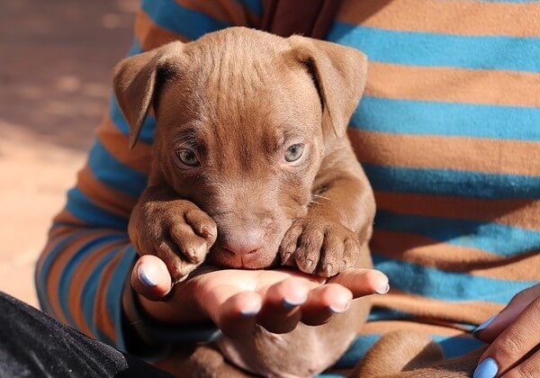 down syndrome pitbull puppy