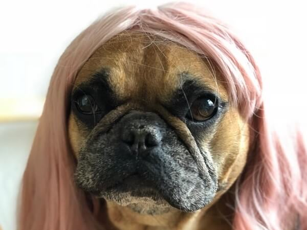 fluffy frenchie cost