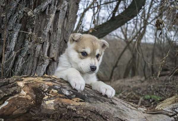 How much does a Teacup Husky cost