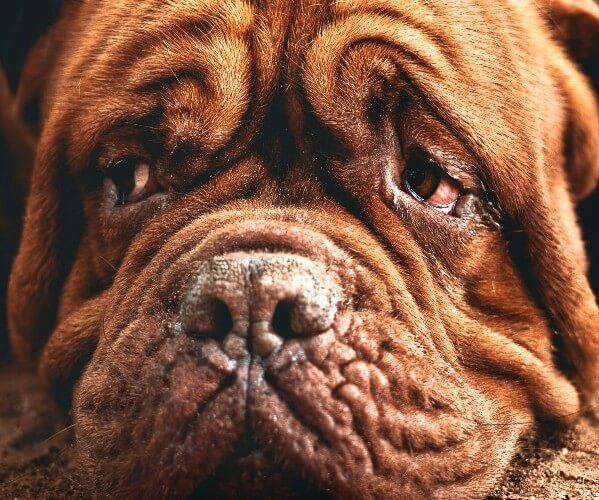 how to clean dog eye boogers