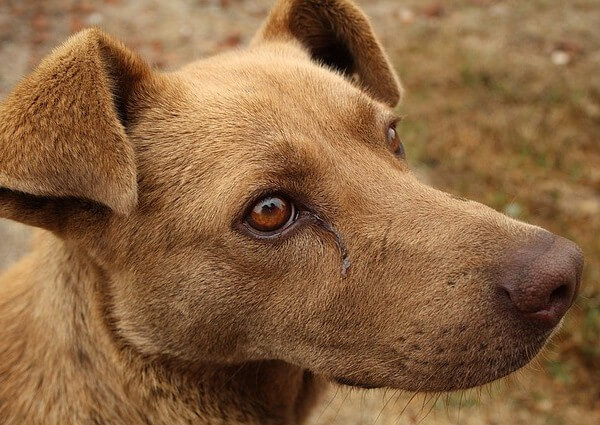 dog eye crust removal