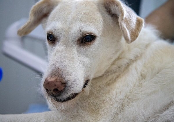 white on dogs nose