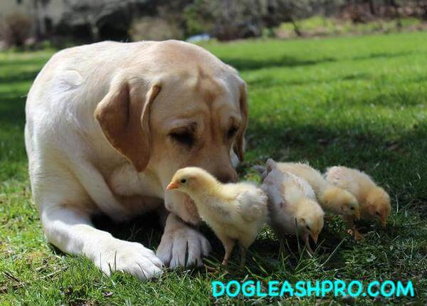 Is it bad for dogs to eat chicken poop