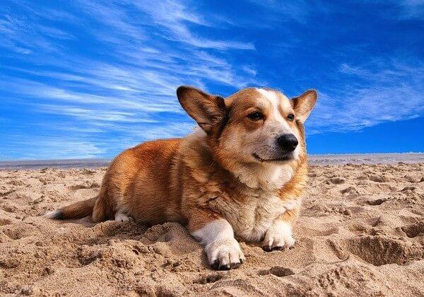 welsh corgi dog on the beach