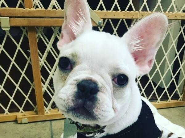 fluffy frenchie puppy