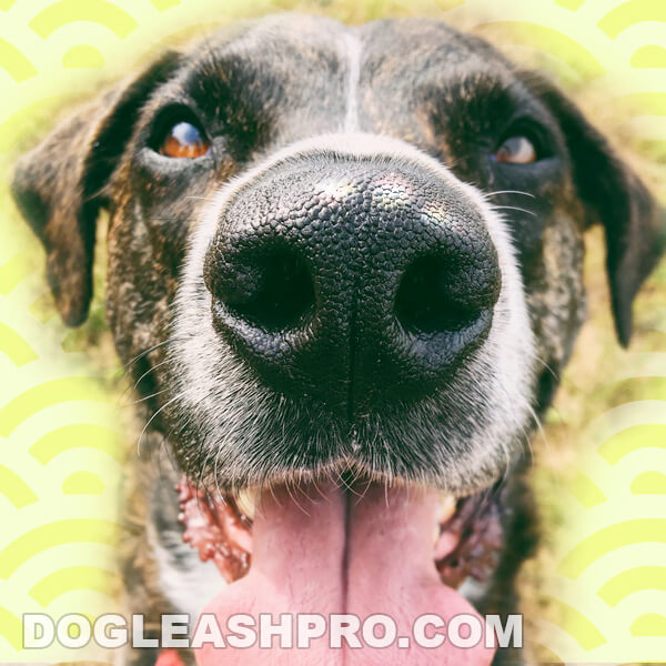 white spot on dogs nose