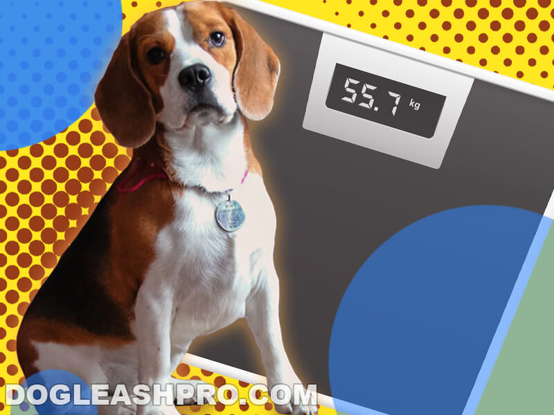 How Much Should A Beagle Weigh