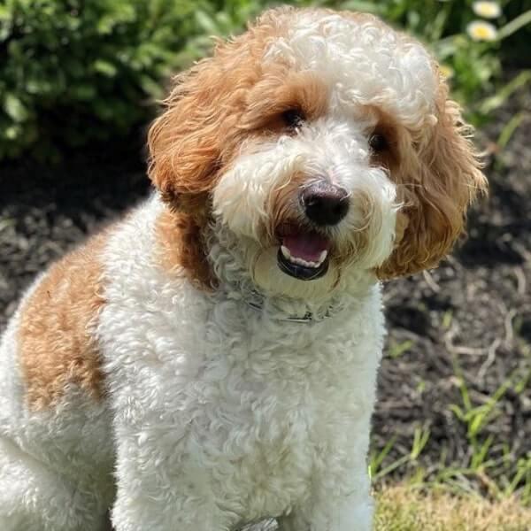mini australian goldendoodle puppies for sale