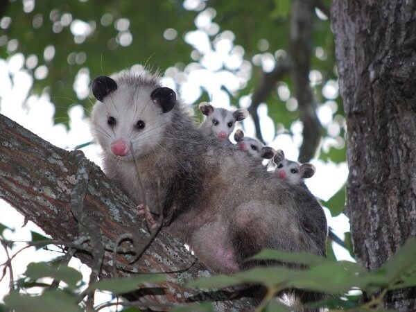 possum attack dog when dog is chasing it