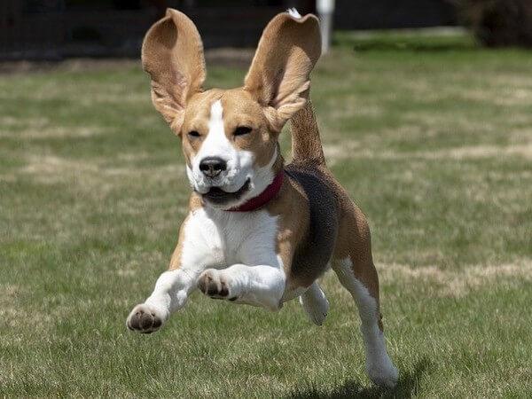 beagle grown up weight