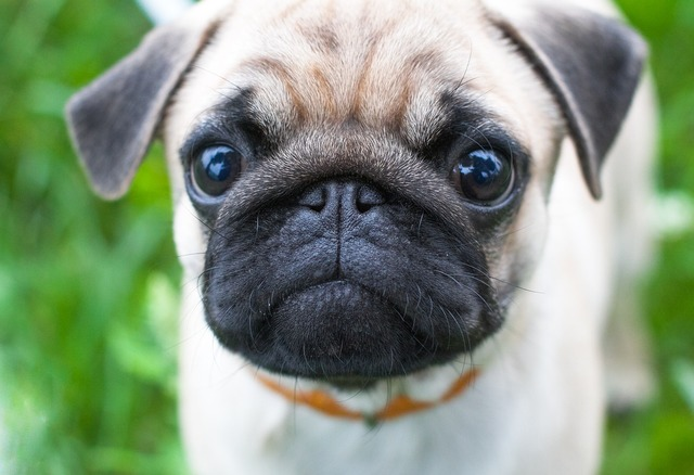 how much would a pug puppy cost