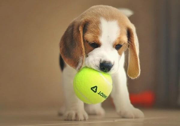 14 week old beagle puppy