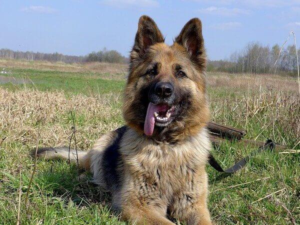 when do german shepherd puppies lose their baby teeth
